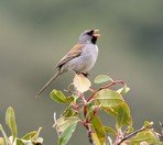 black-chinned-sparrow