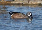 blue-winged-teal