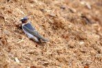 cliff-swallow