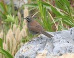 five-striped-sparrow
