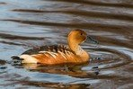 fulvous-whistling-duck