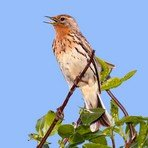 red-throated-pipit