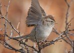 rufous-winged-sparrow