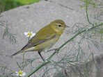 tennessee-warbler