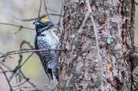 american-three-toed-woodpecker