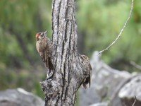 arizona-woodpecker