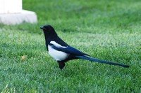 black-billed-magpie