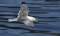 black-legged-kittiwake