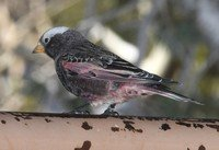 black-rosy-finch