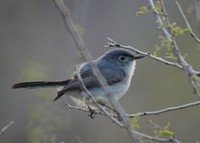 black-tailed-gnatcatcher