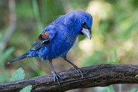 blue-grosbeak