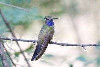 blue-throated-hummingbird