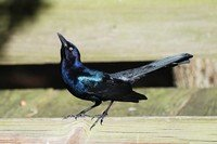 boat-tailed-grackle