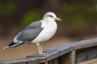 california-gull
