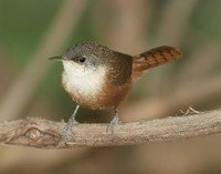 canyon-wren