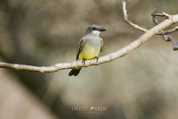 cassins-kingbird