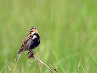 chestnut-collared-longspur