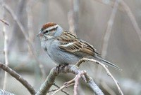 chipping-sparrow