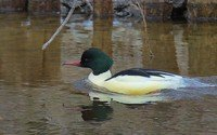 common-merganser