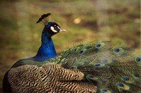 common-peafowl