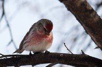 common-redpoll