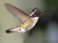 costas-hummingbird