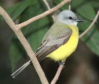couchs-kingbird