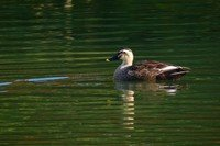 eastern-spot-billed-duck