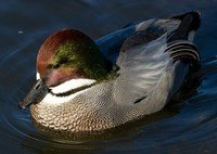 falcated-duck