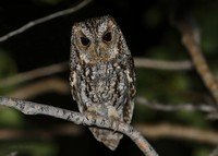 flammulated-owl