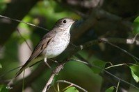 gray-cheeked-thrush