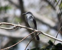 gray-kingbird
