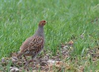 gray-partridge