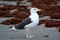 great-black-backed-gull