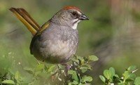 green-tailed-towhee