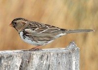 harriss-sparrow