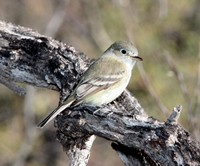 huttons-vireo