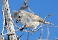juniper-titmouse