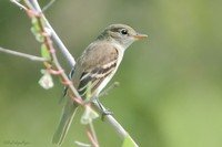 least-flycatcher