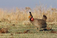 lesser-prairie-chicken