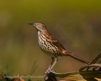 long-billed-thrasher