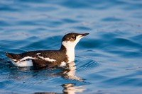marbled-murrelet