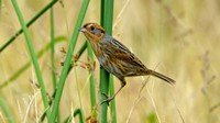 nelsons-sparrow