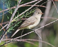 northern-beardless-tyrannulet