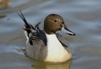 northern-pintail