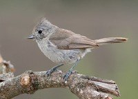 oak-titmouse