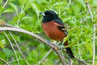 orchard-oriole