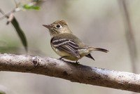 pacific-slope-flycatcher