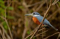 ringed-kingfisher