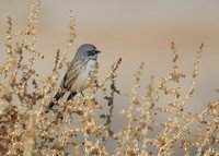 sagebrush-sparrow